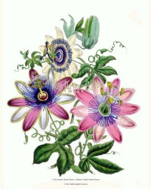 Passion Flower, Common; Masters's Hybrid Passion Flower